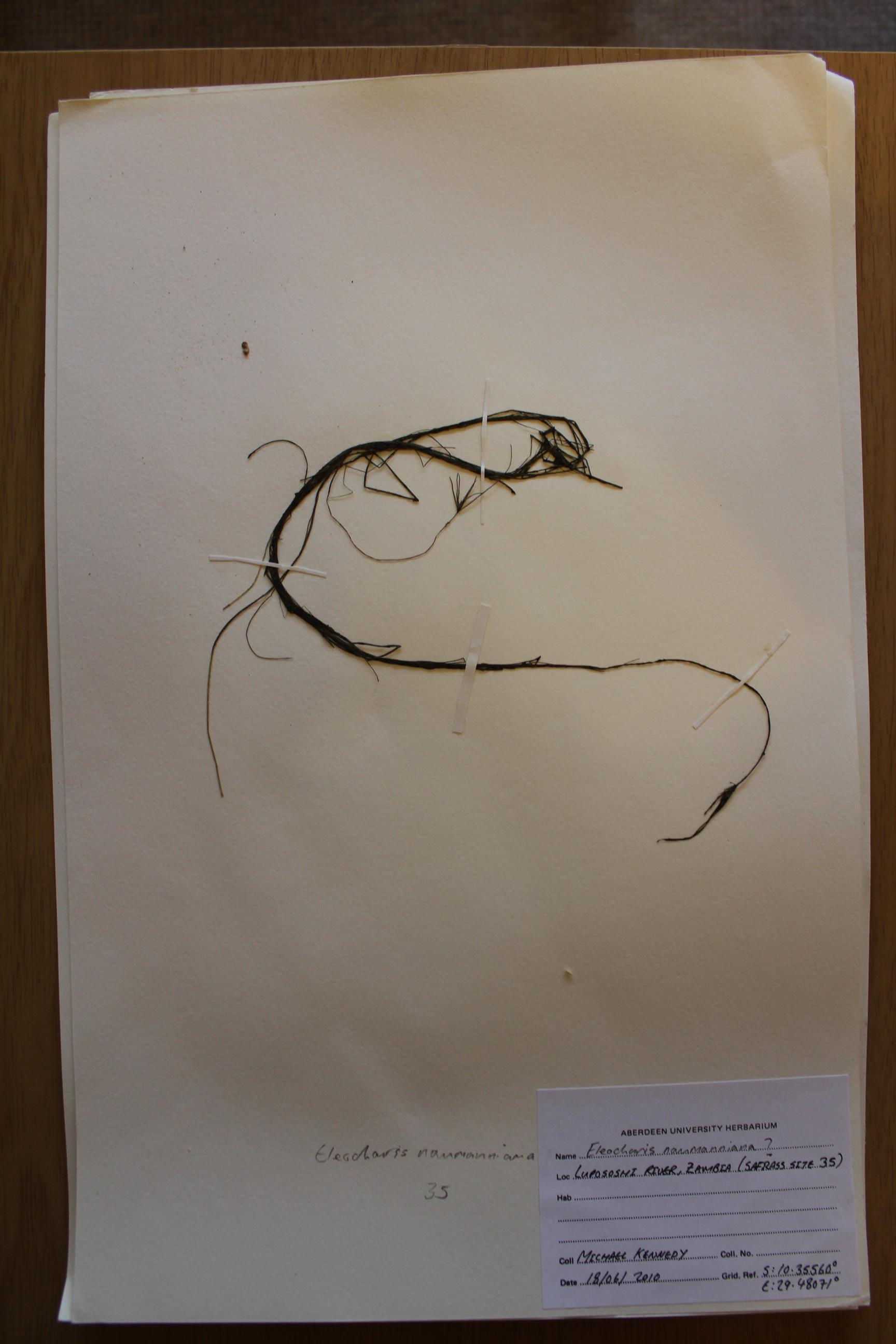 Eleocharis naumanniana var. naumanniana
