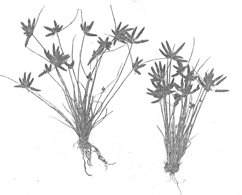 Pycreus capillifolius