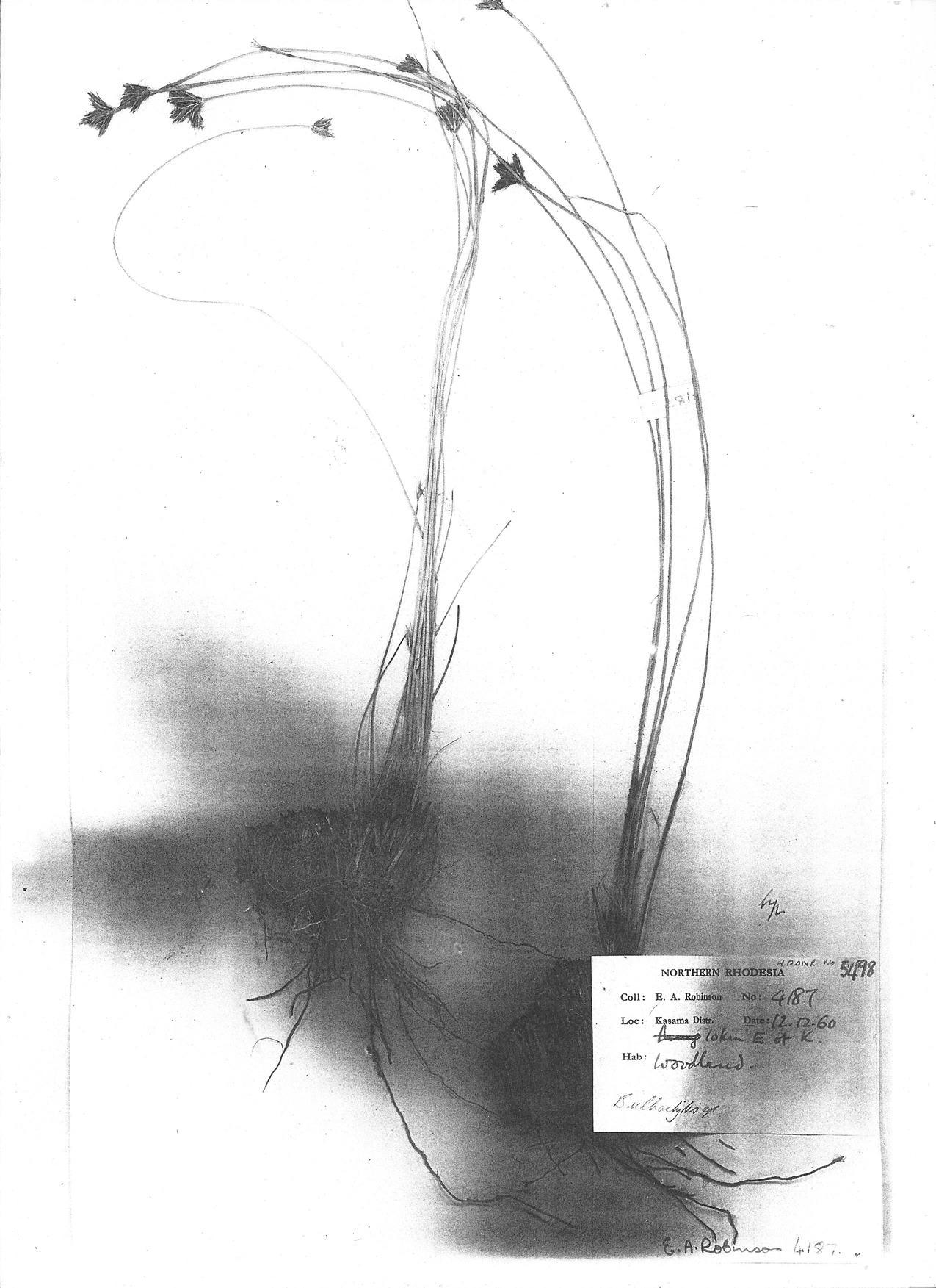 Bulbostylis igneotonsa