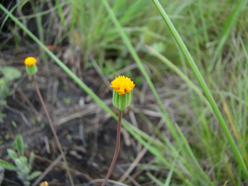 Emilia basifolia