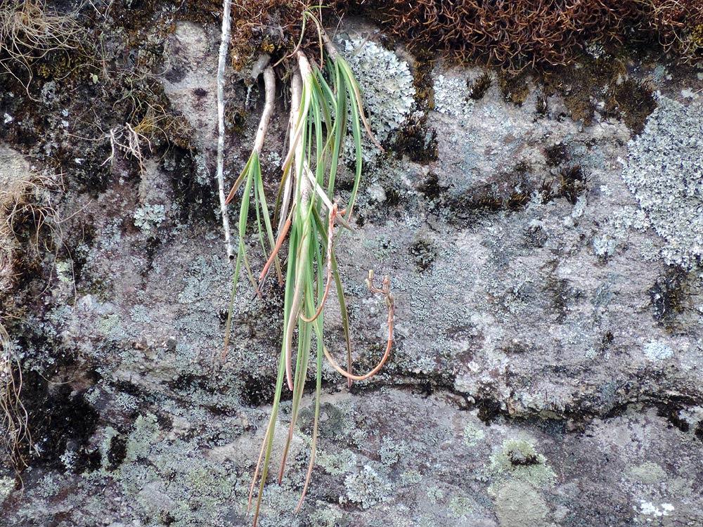 Aloe rulkensii