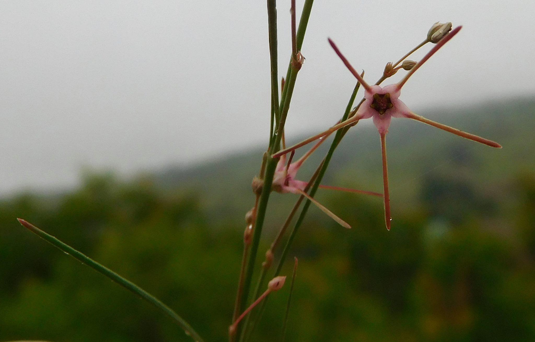 Brachystelma filifolium
