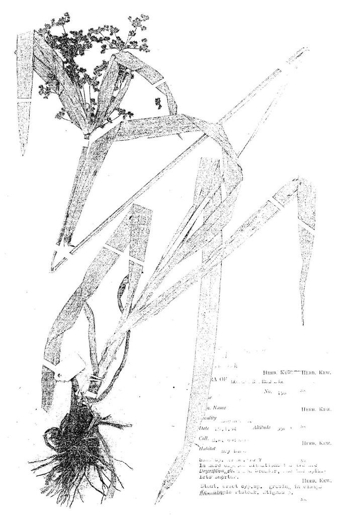 Cyperus renschii