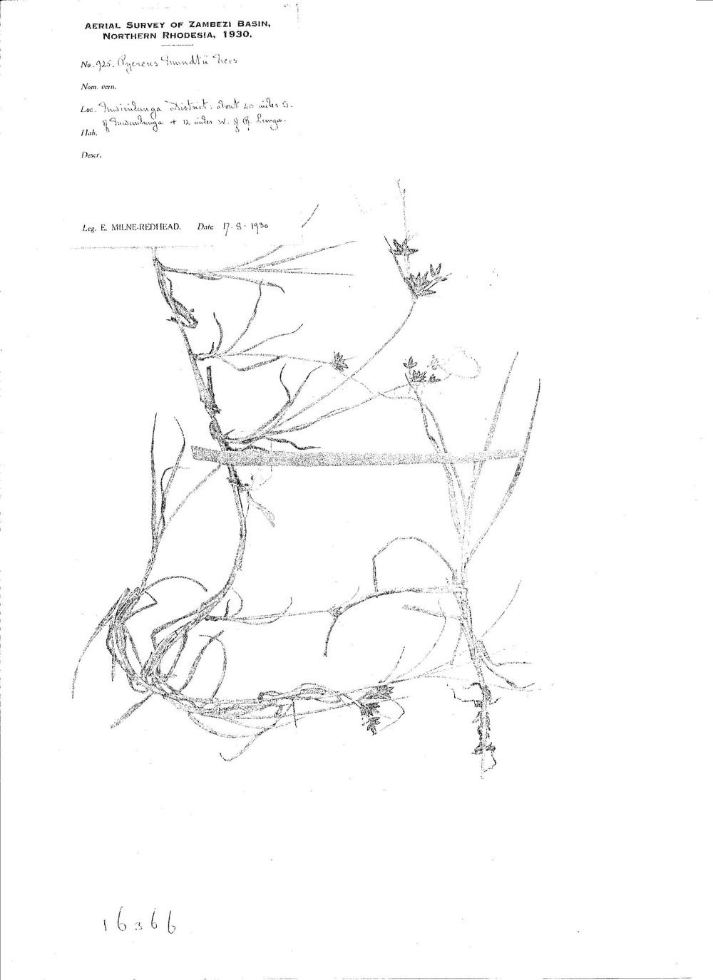 Pycreus mundtii