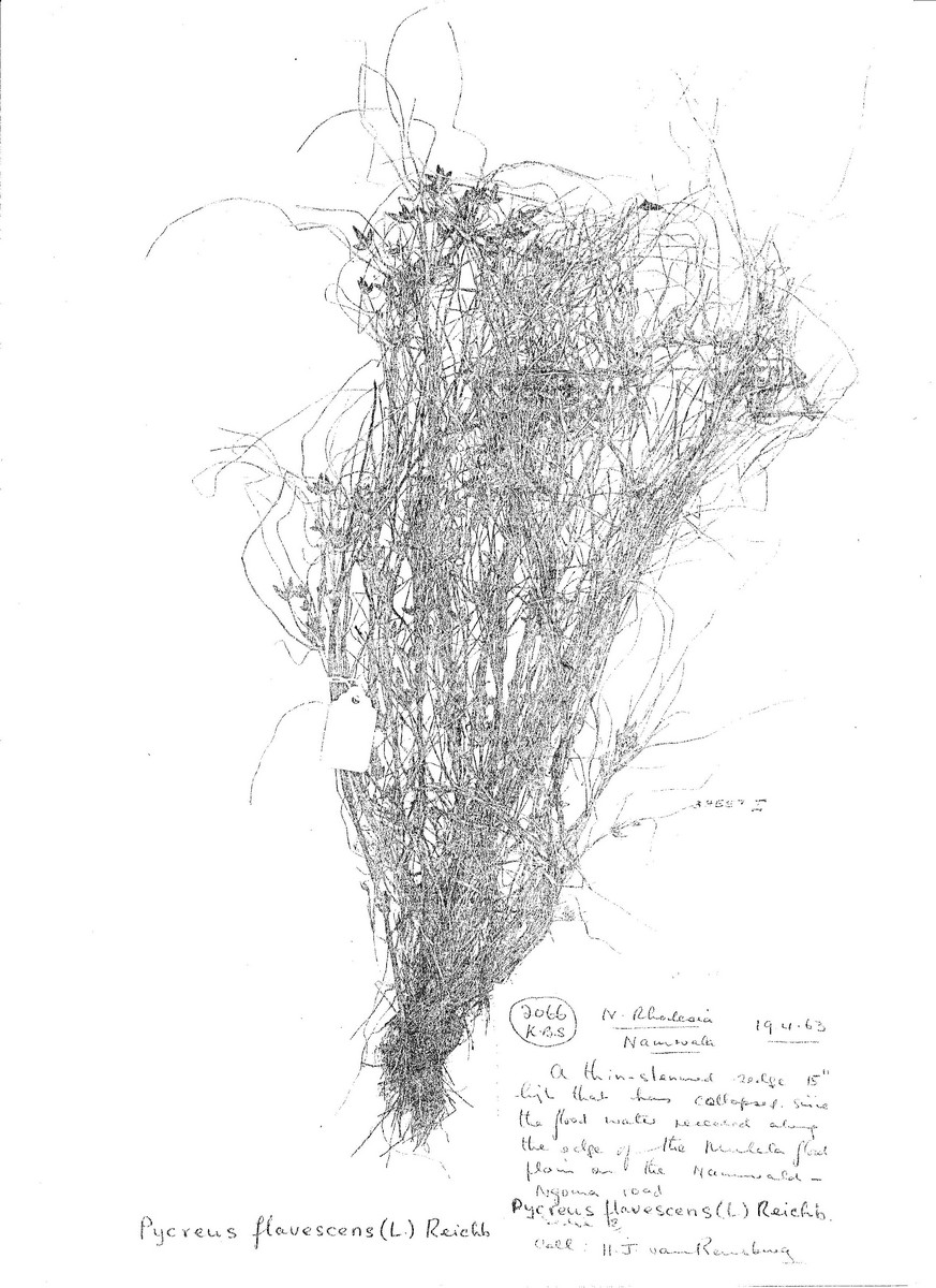 Pycreus flavescens
