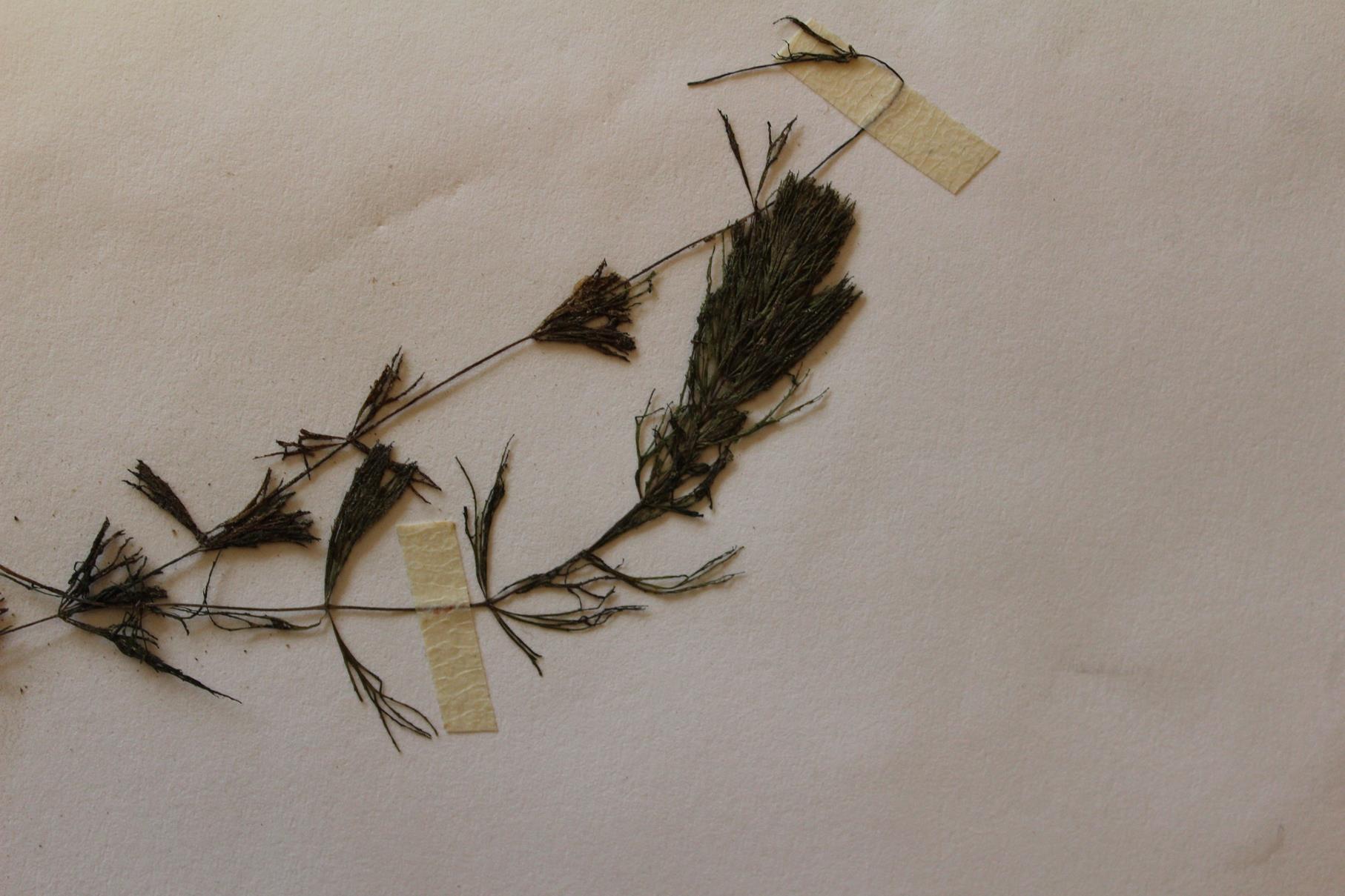 Ceratophyllum muricatum
