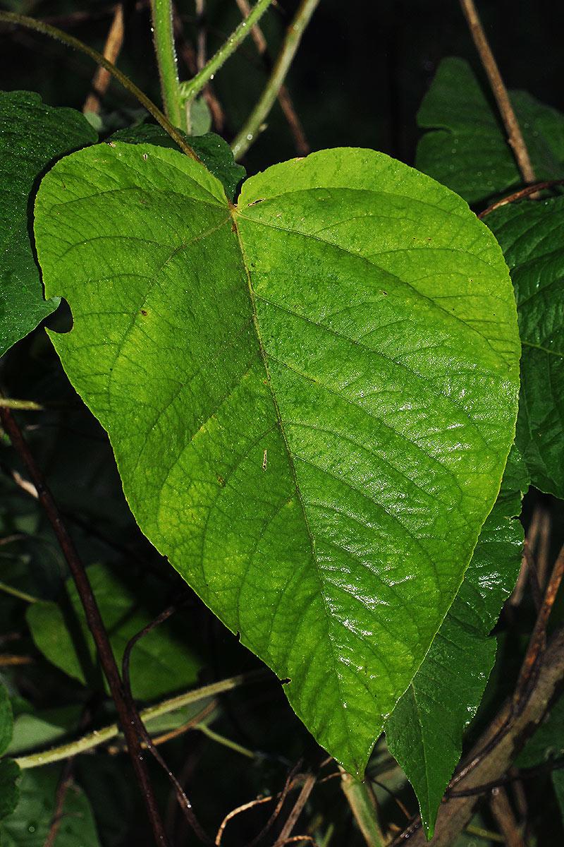 Croton triqueter