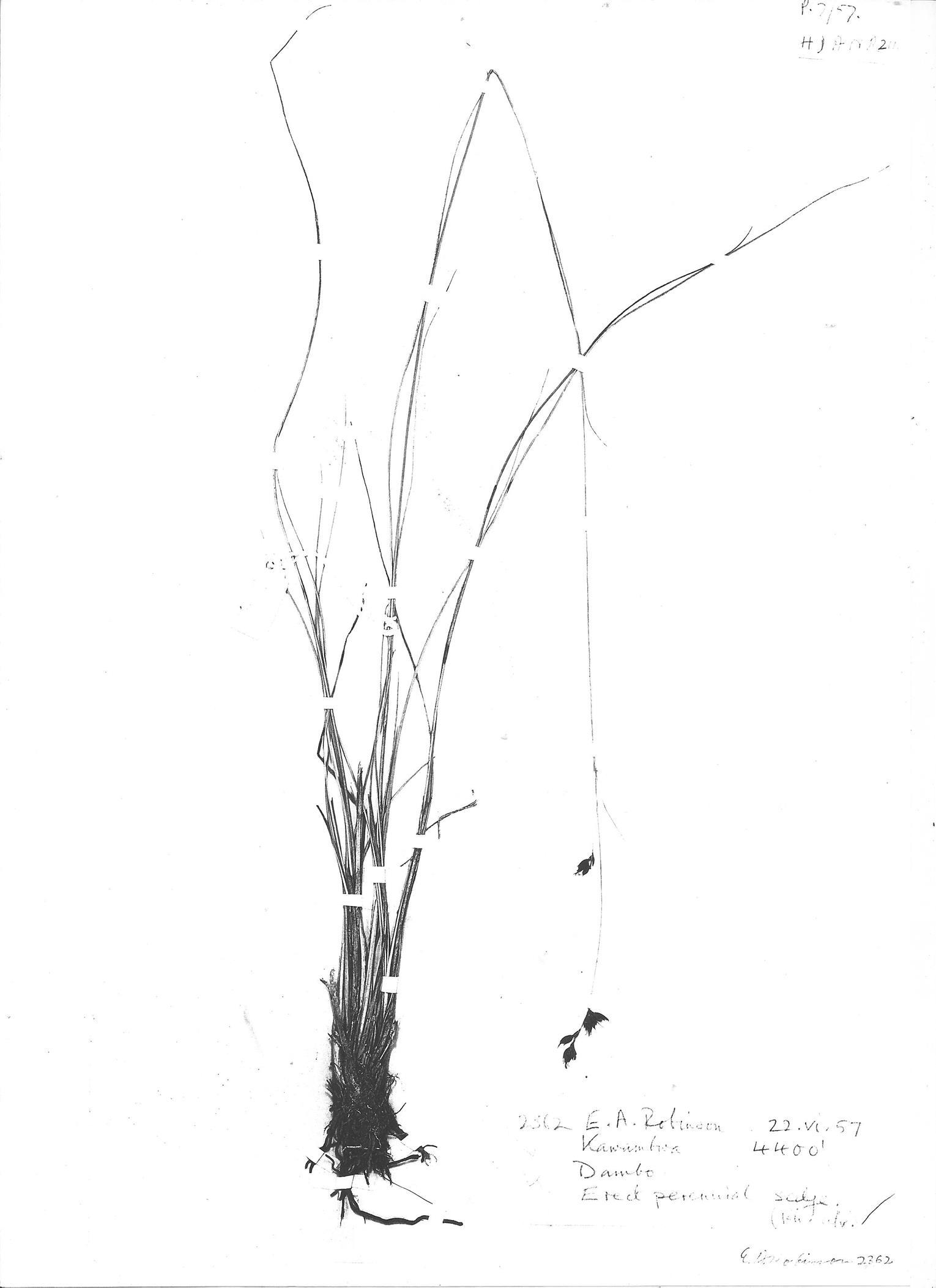 Rhynchospora angolensis