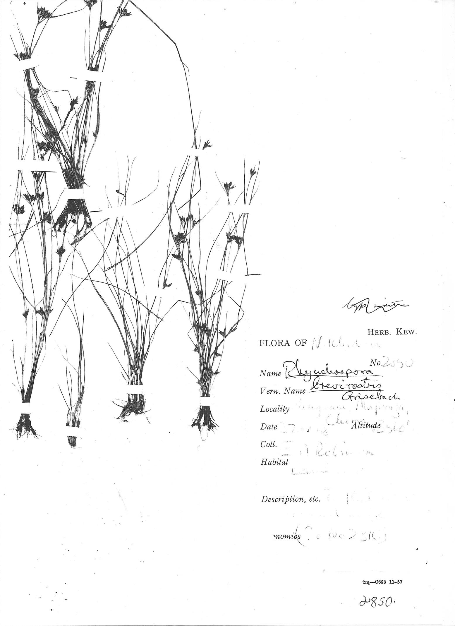 Rhynchospora brevirostris