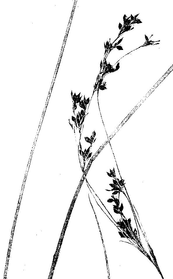 Rhynchospora brownii