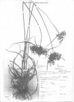 Pycreus intactus