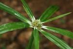 Cyperus mapanioides