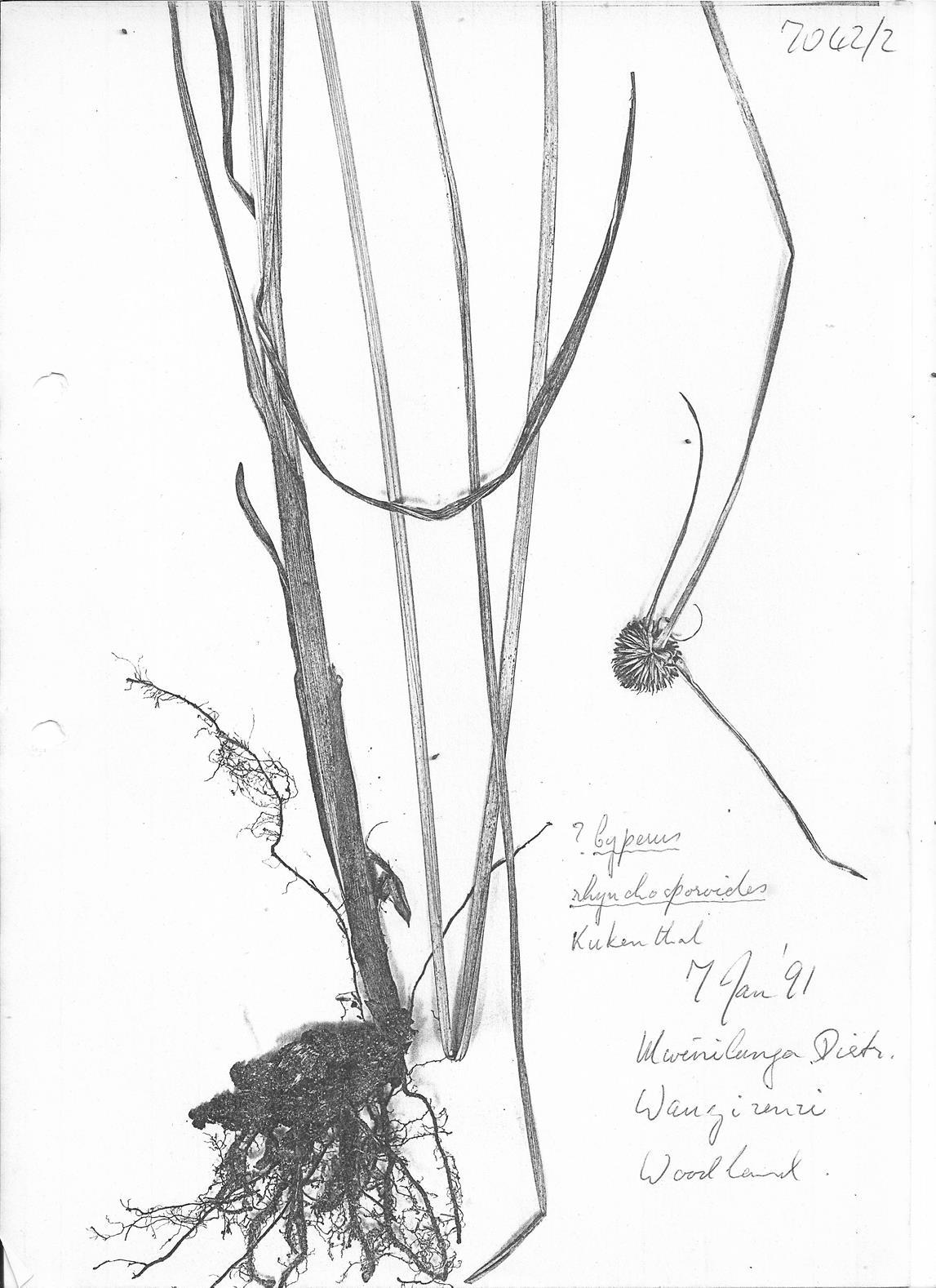 Cyperus rhynchosporoides