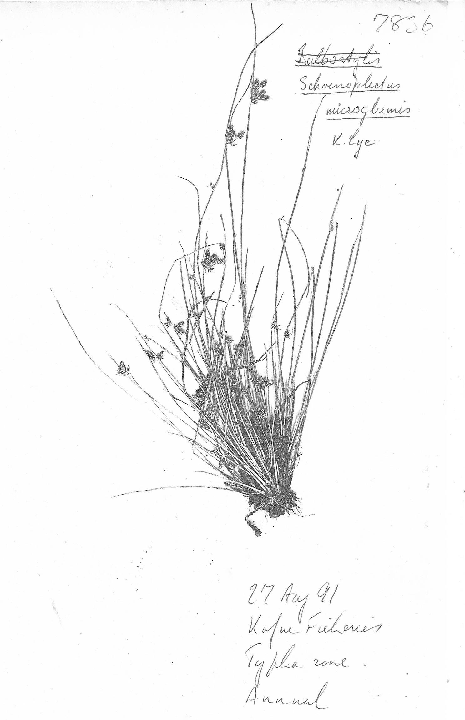 Schoenoplectus microglumis