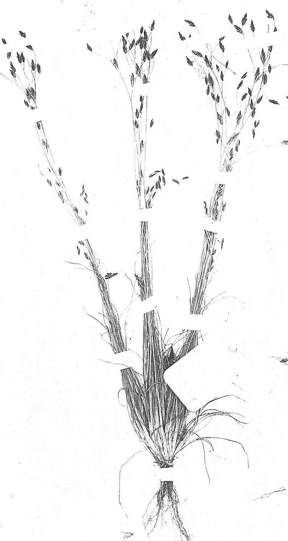 Bulbostylis densa subsp. afromontana