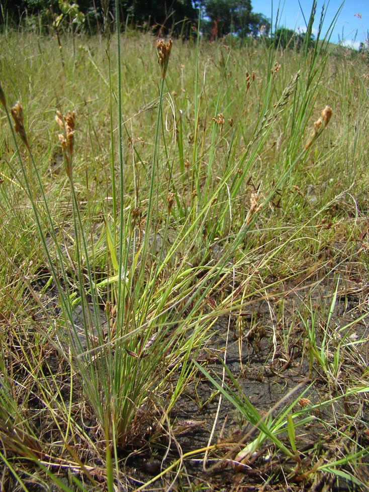 Bulbostylis congolensis