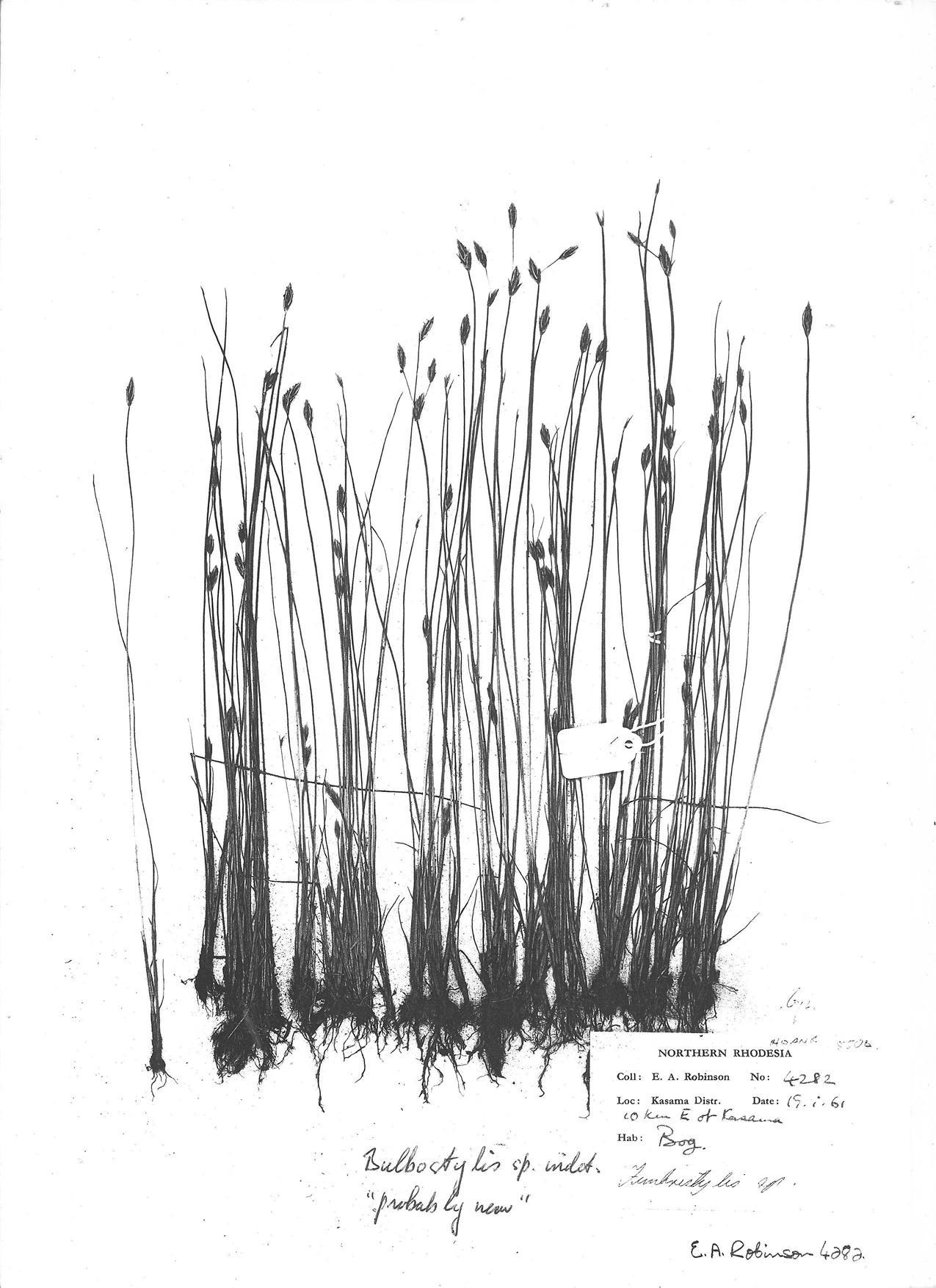 Bulbostylis nudiuscula