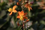 Bulbine frutescens