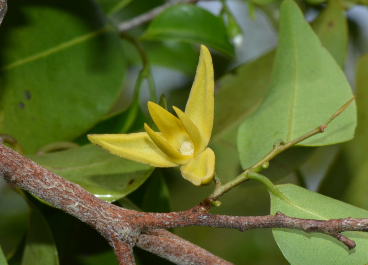 Xylopia tenuipetala
