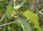 Marsdenia cynanchoides
