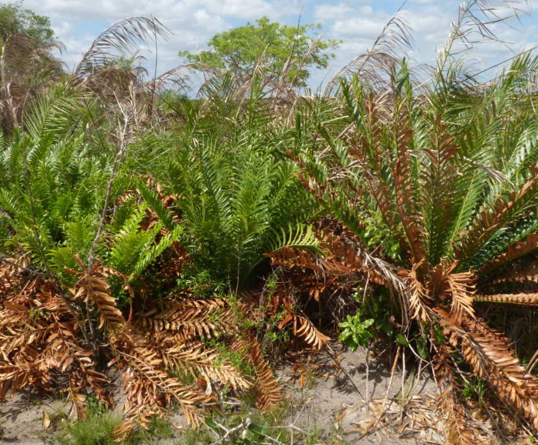 Encephalartos ferox subsp. emersus
