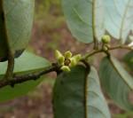 Monanthotaxis trichantha