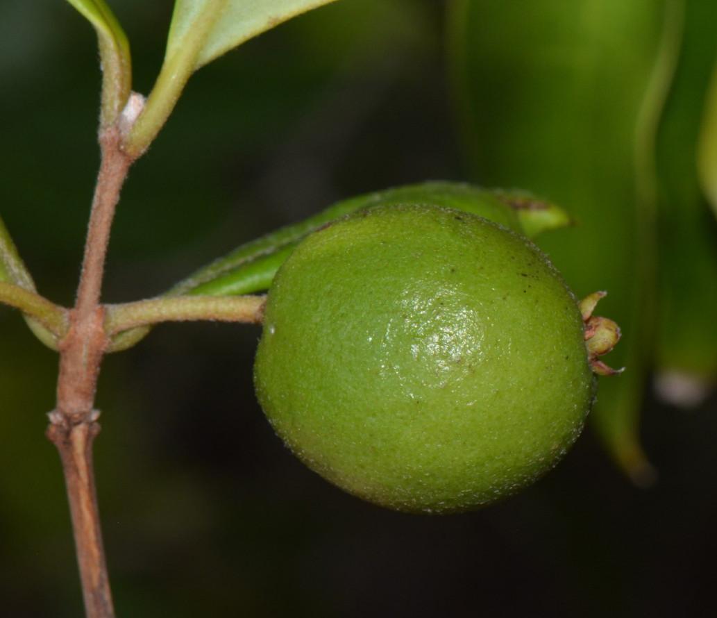 Eugenia sp. A