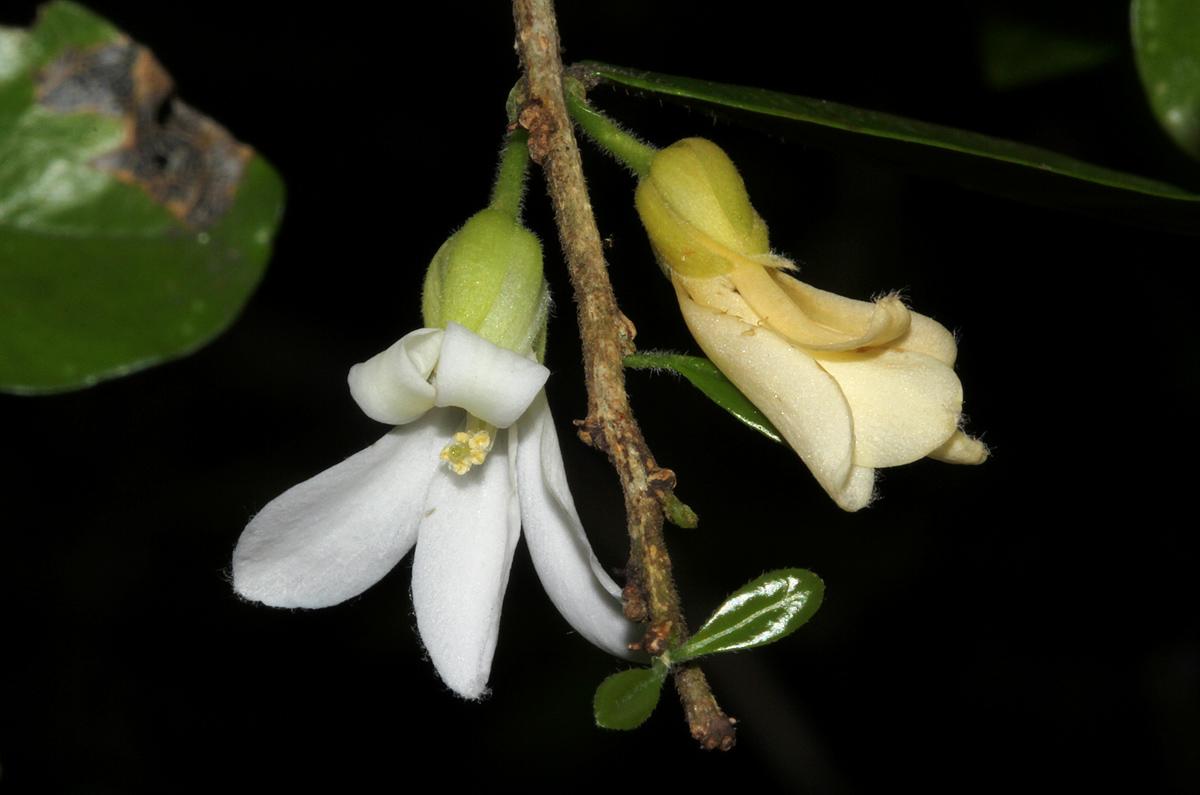 Carpolobia suaveolens