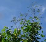 Eriolaena rulkensii