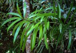 Podocarpus milanjianus