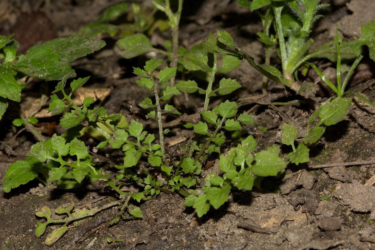 Rorippa madagascariensis