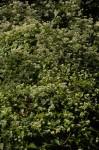 Mikania sp.