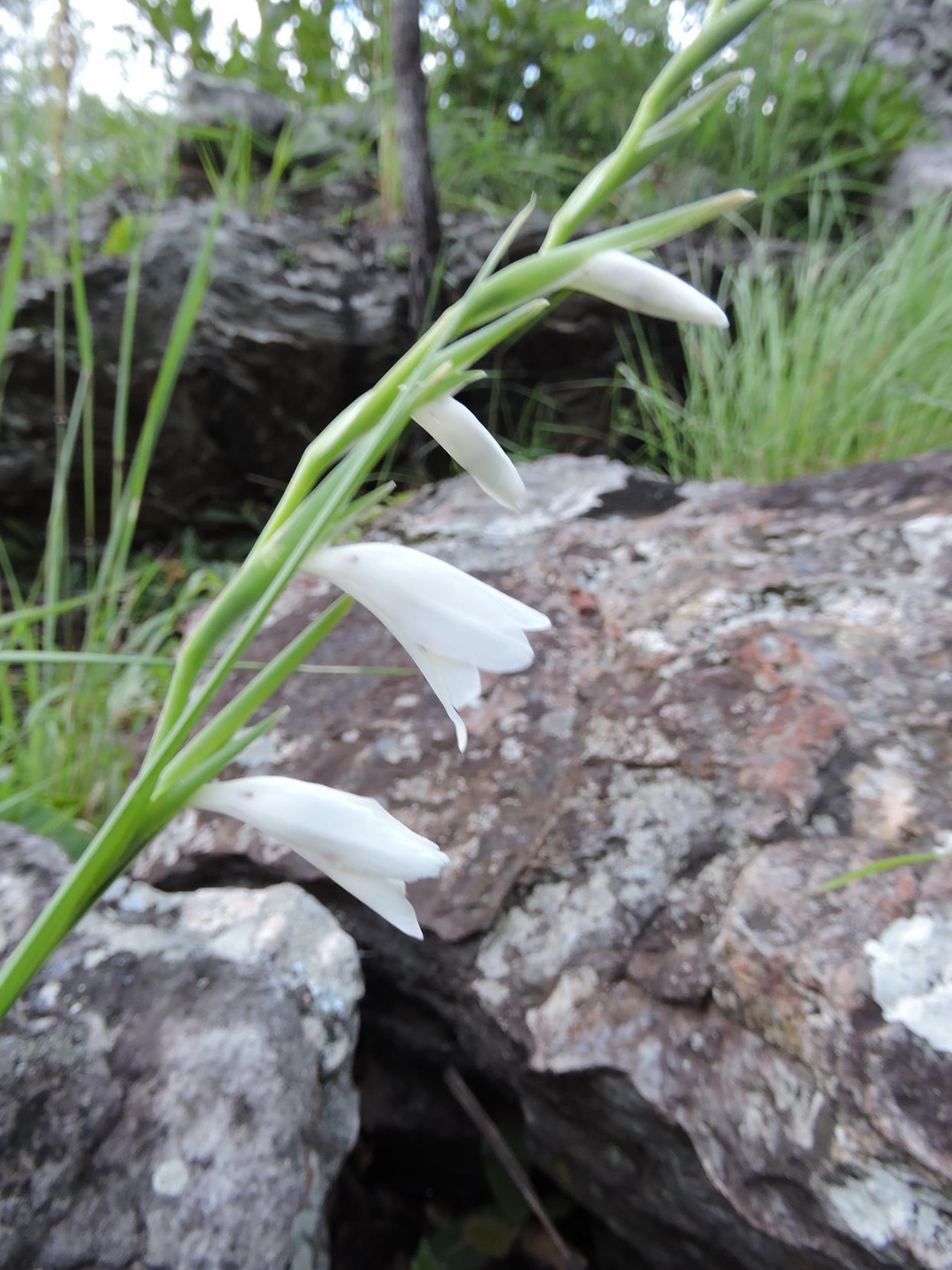 Gladiolus virgineus