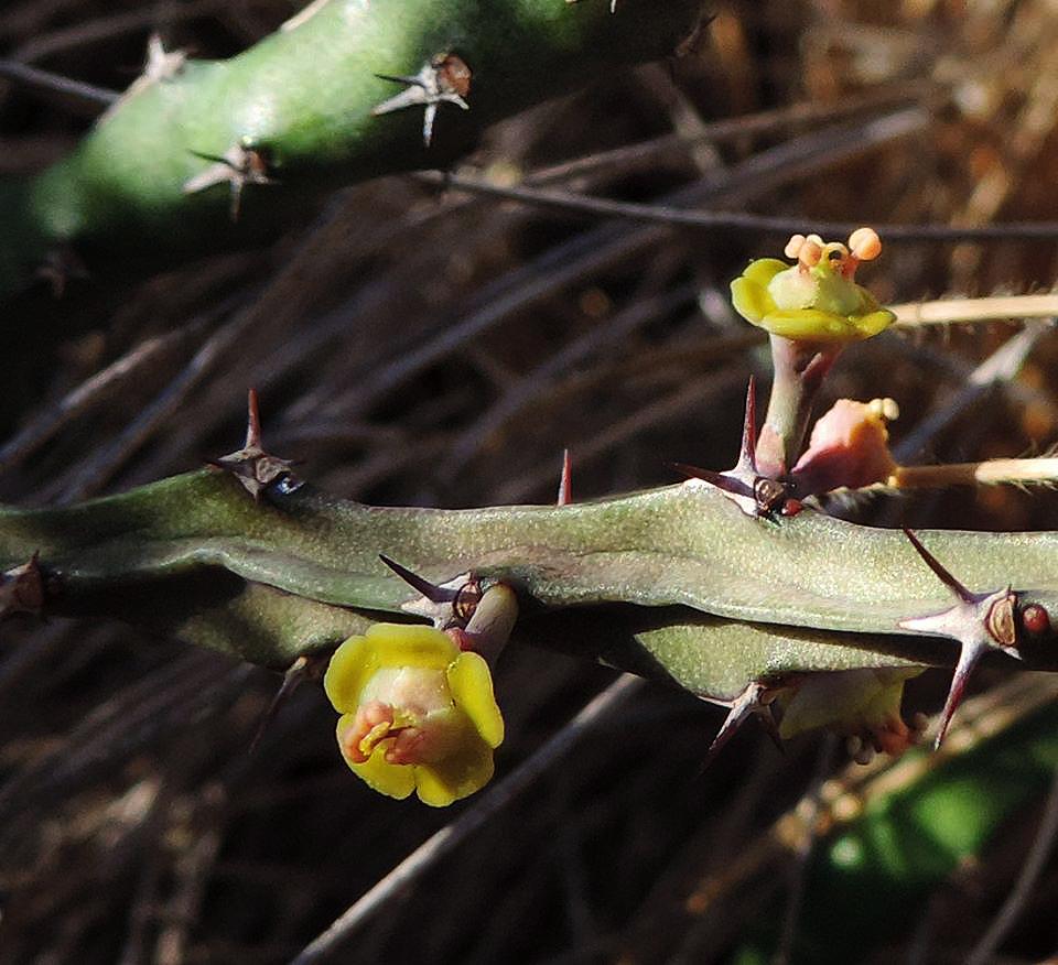 Euphorbia stenocaulis