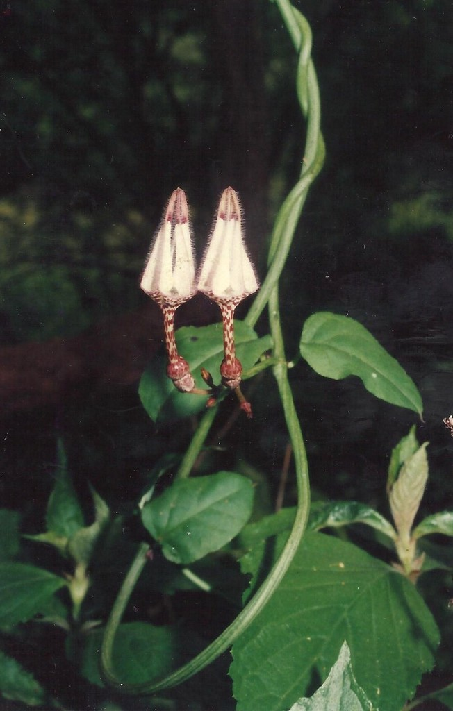 Ceropegia arenarioides