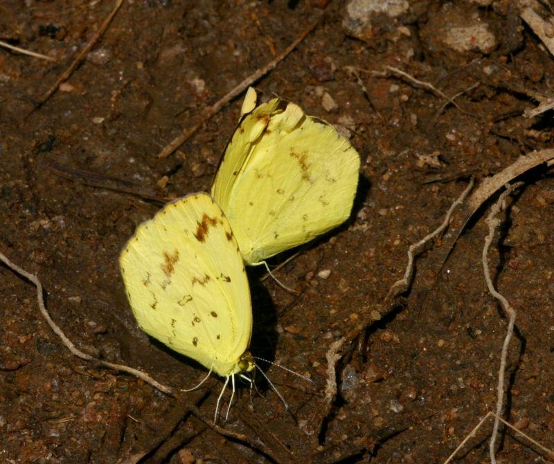 Eurema desjardinsii