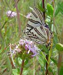 Spindasis natalensis