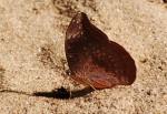 Euryphura achlys