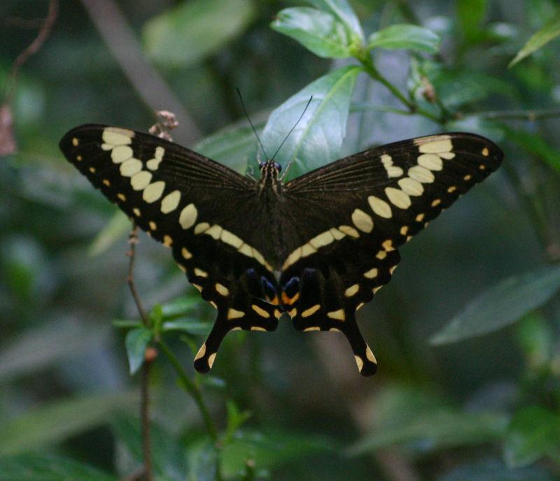 Papilio ophidicephalus