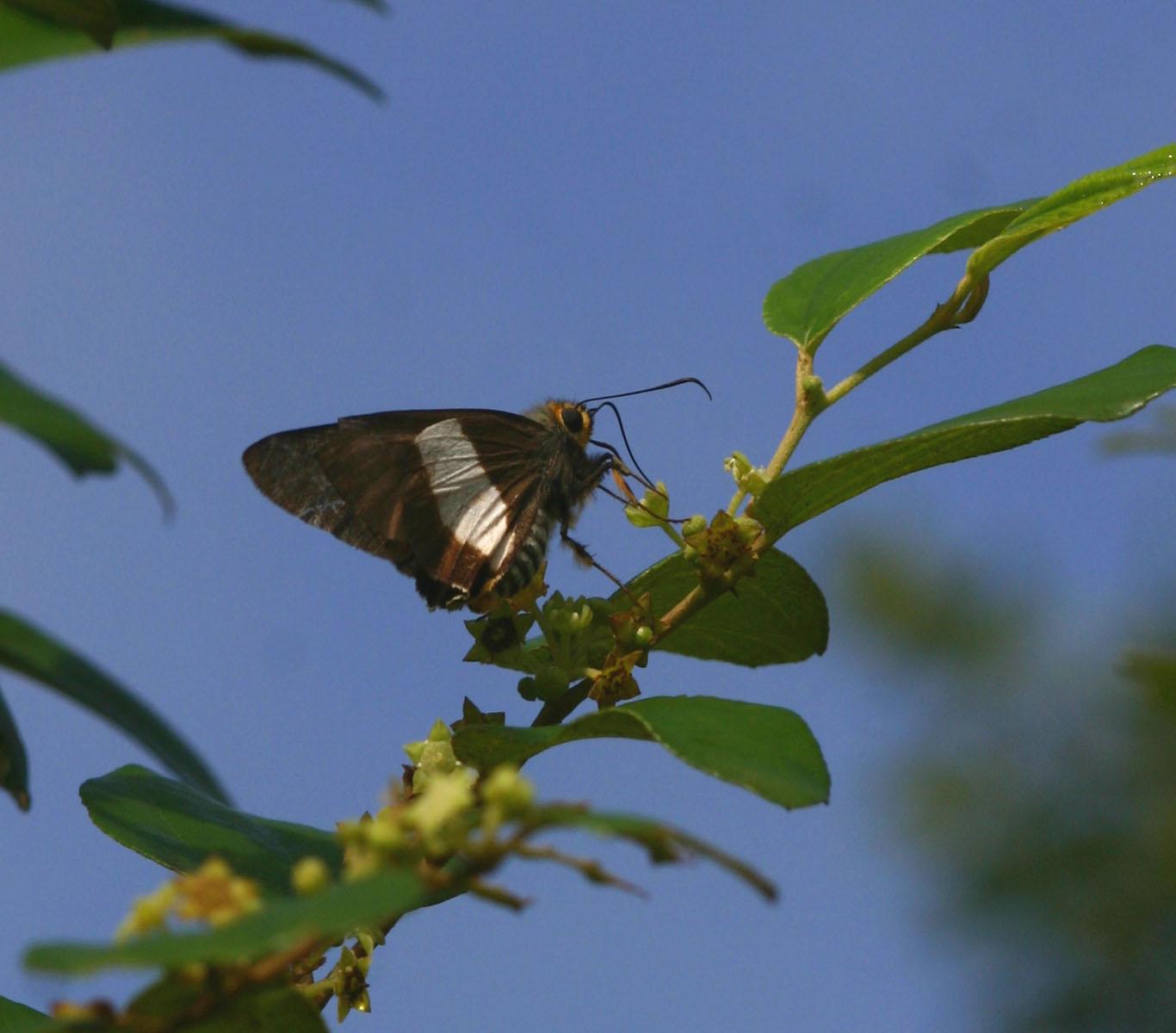 Coeliades forestan