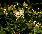 Papilio dardanus