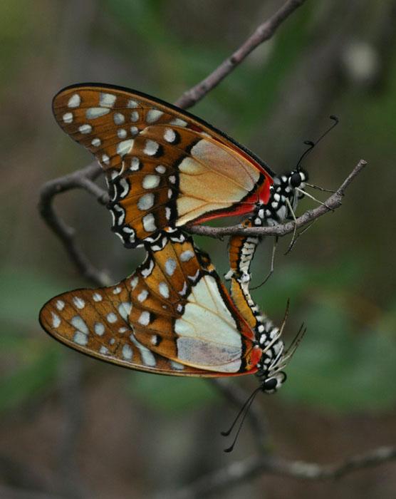 Graphium angolanus