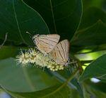 Hypolycaena caeculus