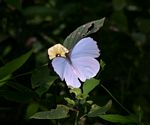 Nepheronia thalassina