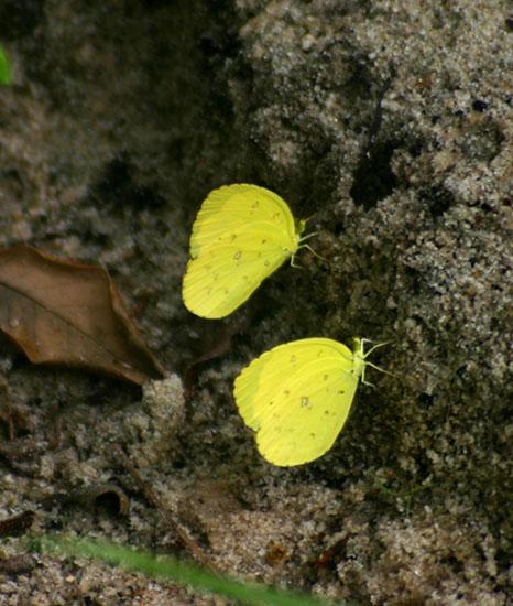 Eurema hecabe
