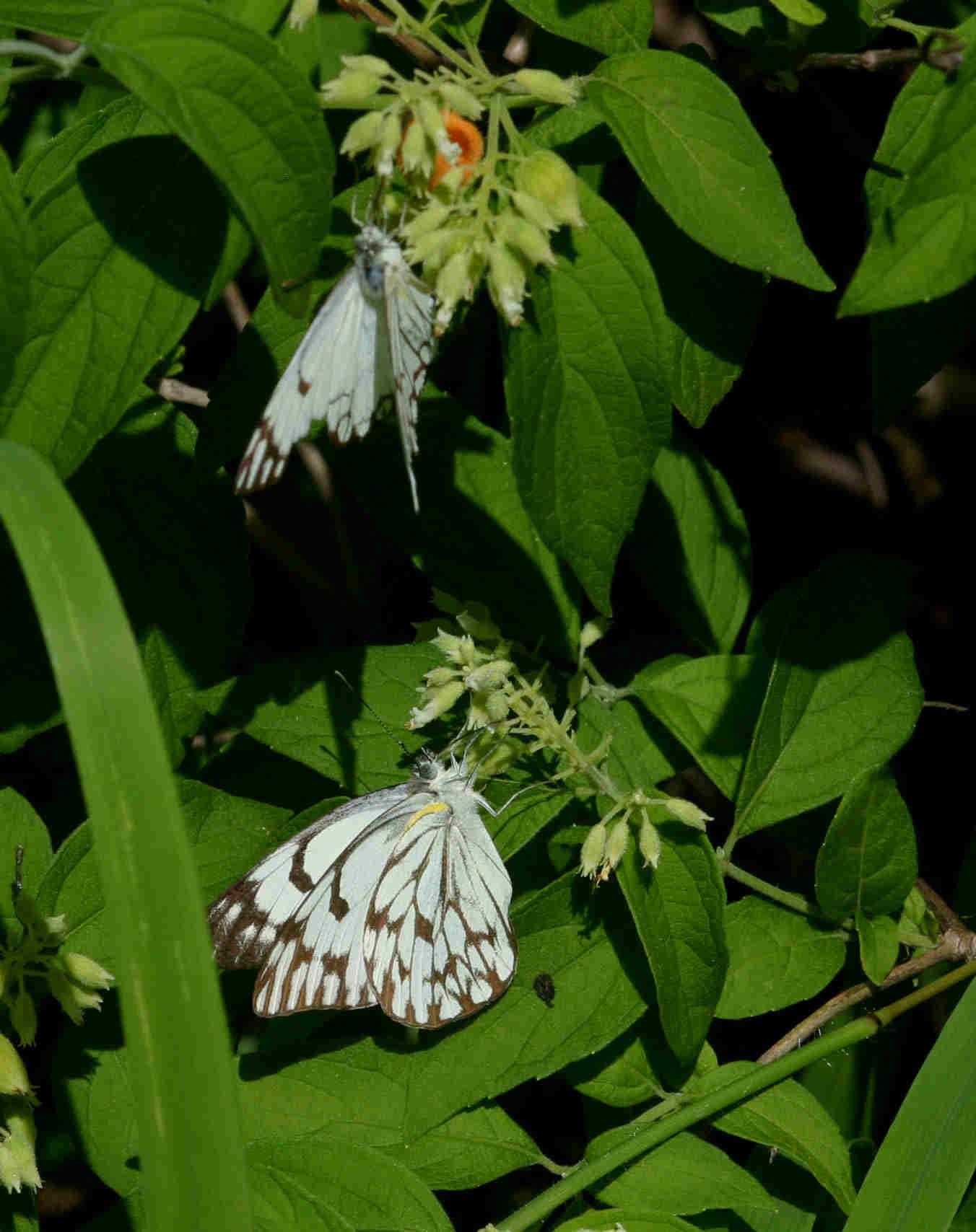 Belenois gidica