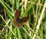Cacyreus palemon