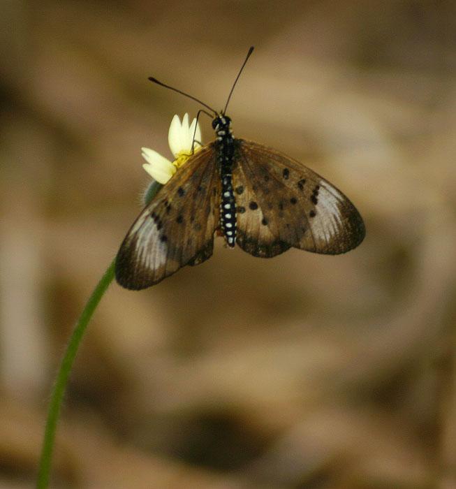 Acraea oncaea