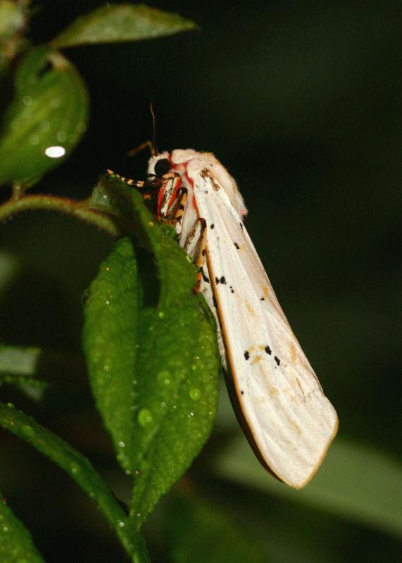 Rhodogastria amasis