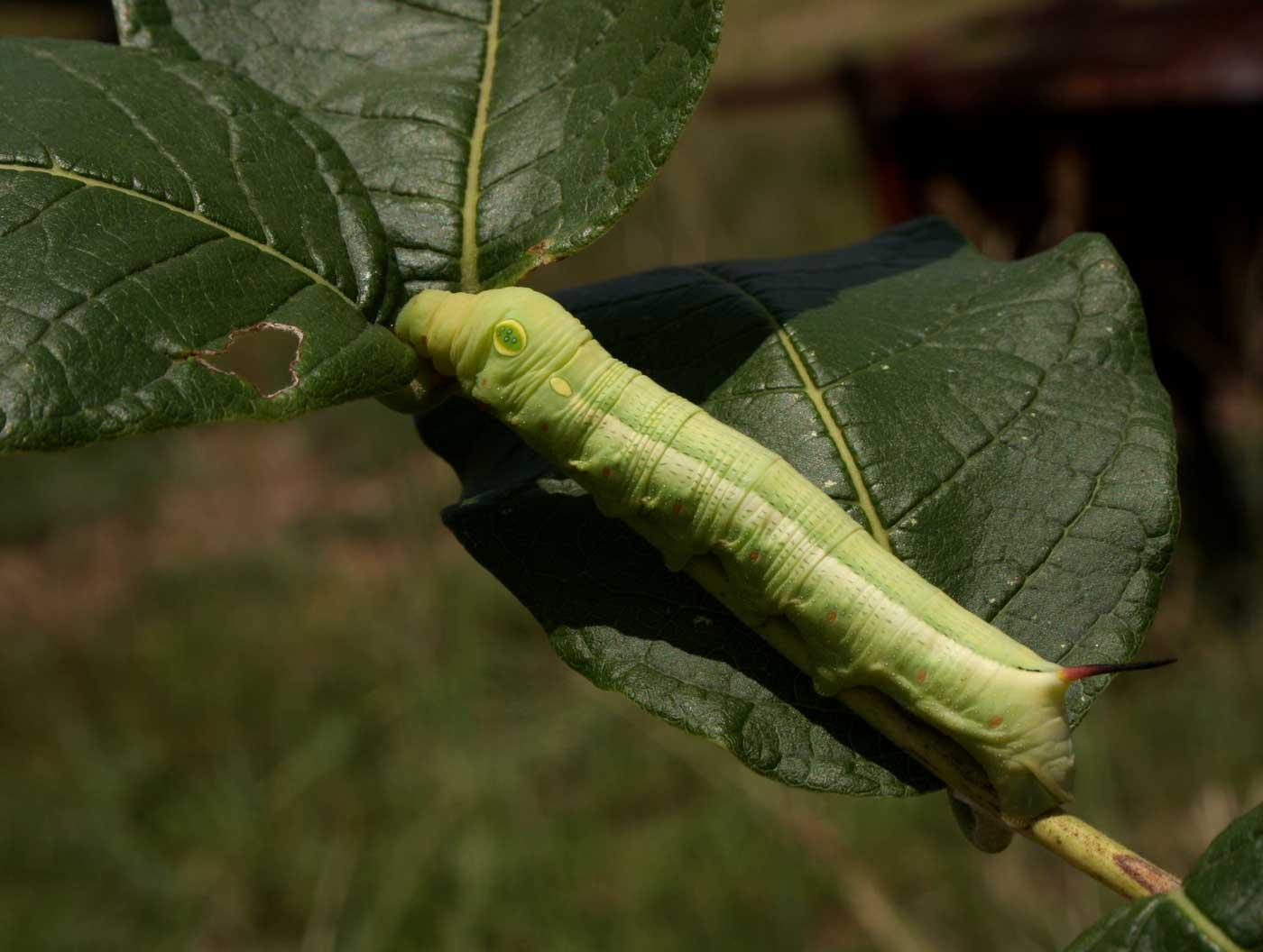 Hippotion celerio
